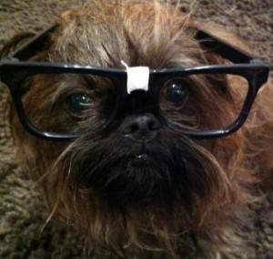 Yoshi the therapy dog
